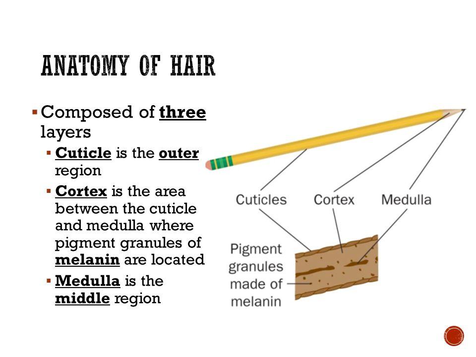 Amazing Anatomy Of Hair Strand Images Human Anatomy Images