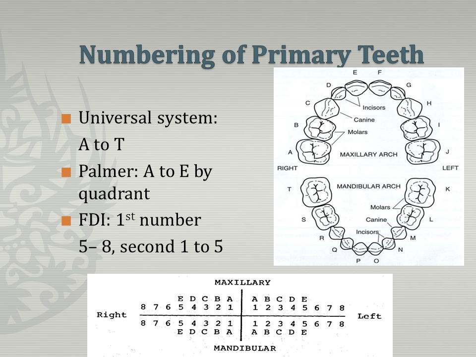overview of the primary dentition