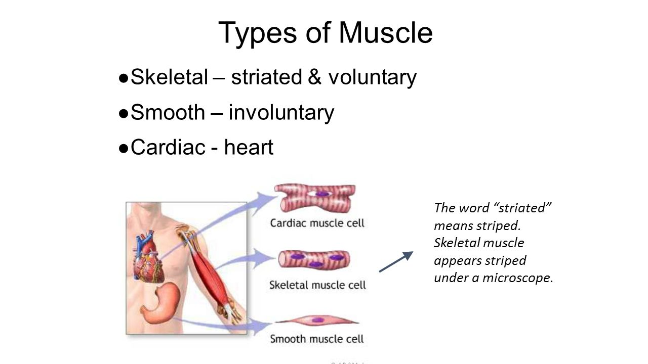 Exelent Muscle Anatomy Ppt Inspiration - Human Anatomy Images ...