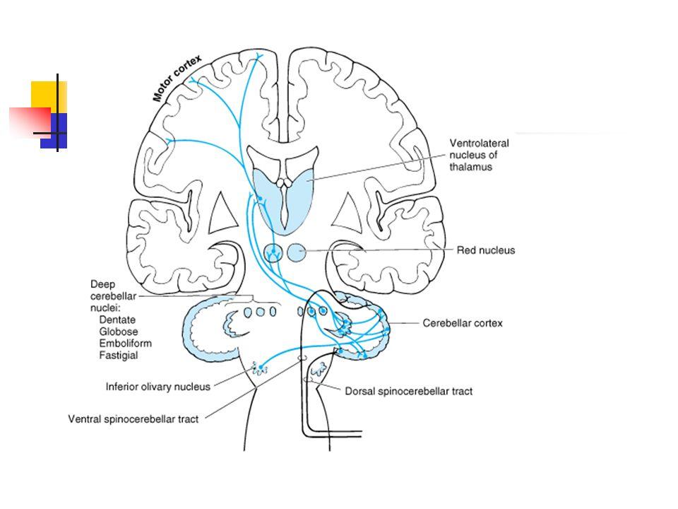 Brain anatomy: Cerebellum - ppt download