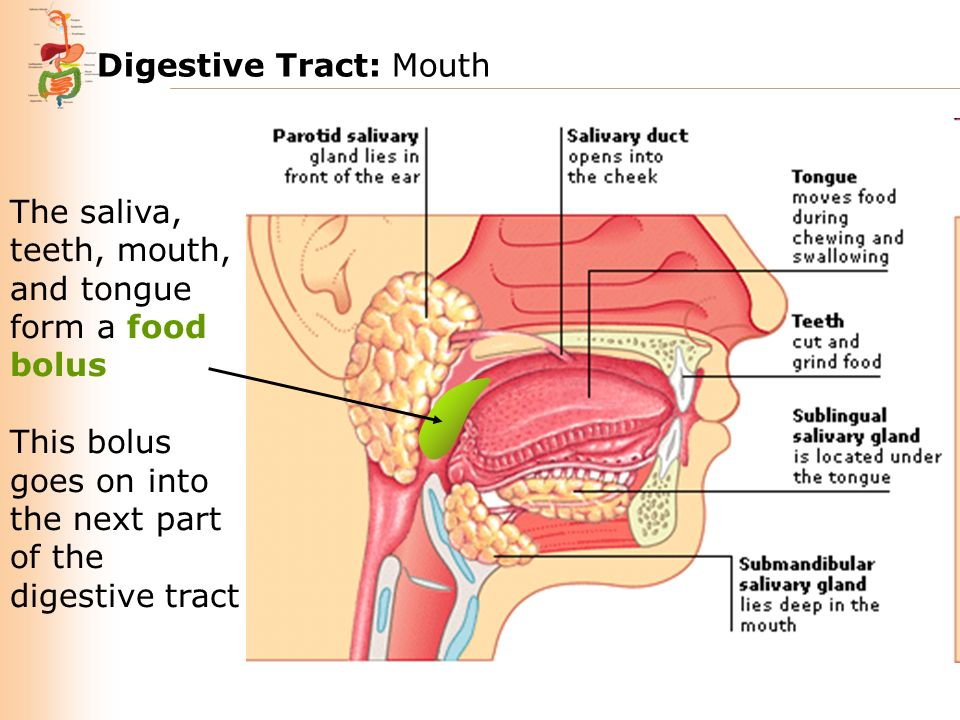 Digestive tract mouth