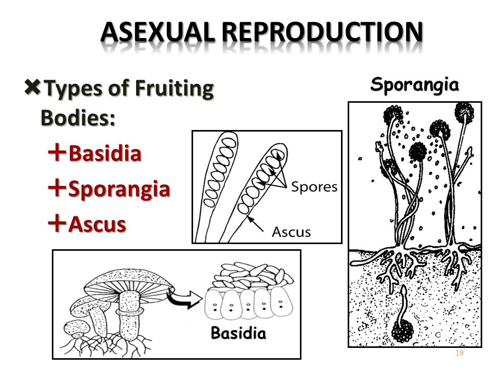 Fungi that reproduce asexually with sporangia