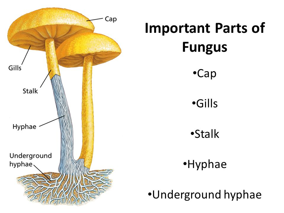 Parts Of Fungus Diagram Diy Enthusiasts Wiring Diagrams