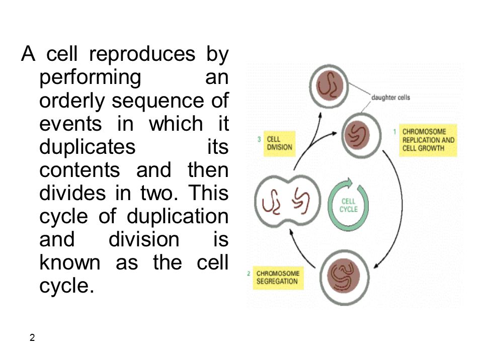 cell cycle and its regulation pdf
