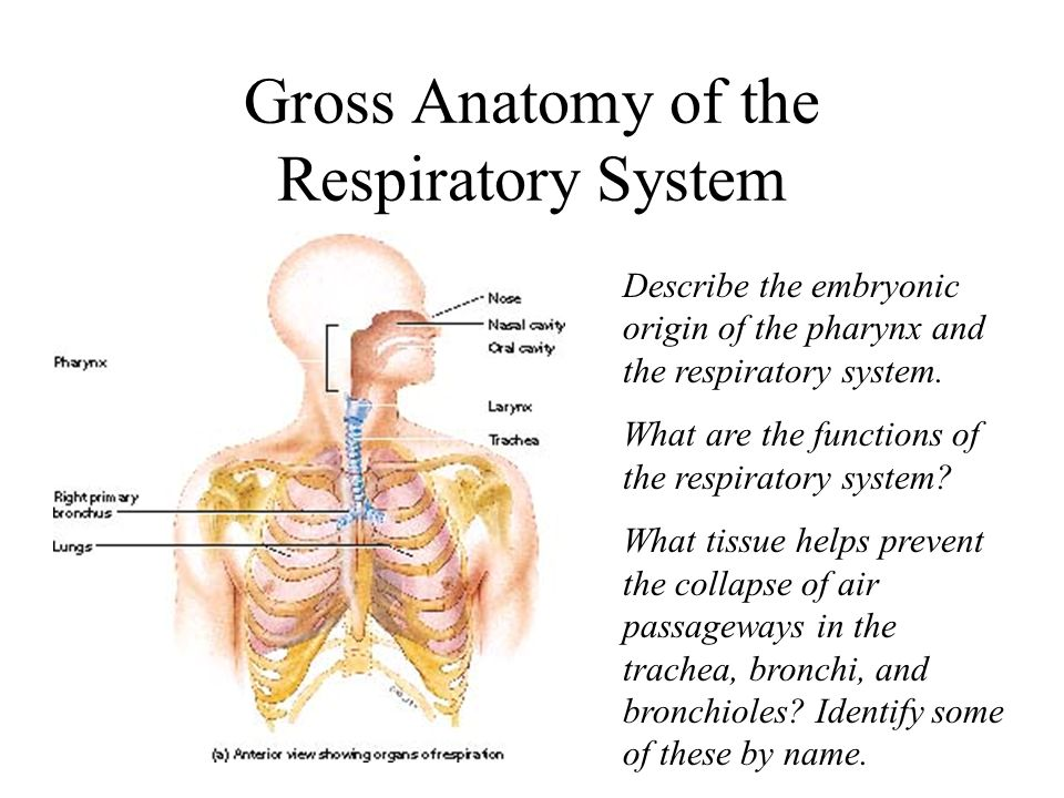 The Respiratory System: - ppt video online download