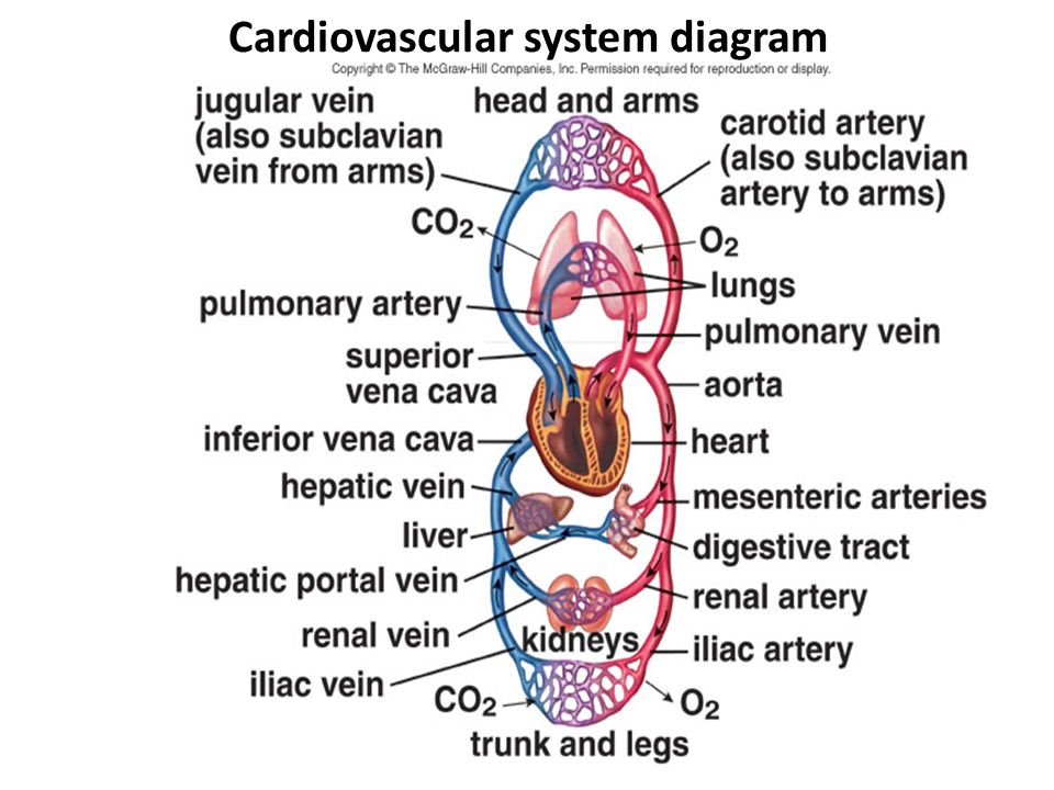 Cardiovascular System I Ppt Download