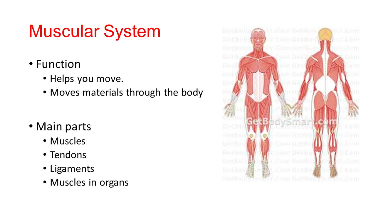 Outstanding Muscular System Parts Inspiration - Human Anatomy Images ...