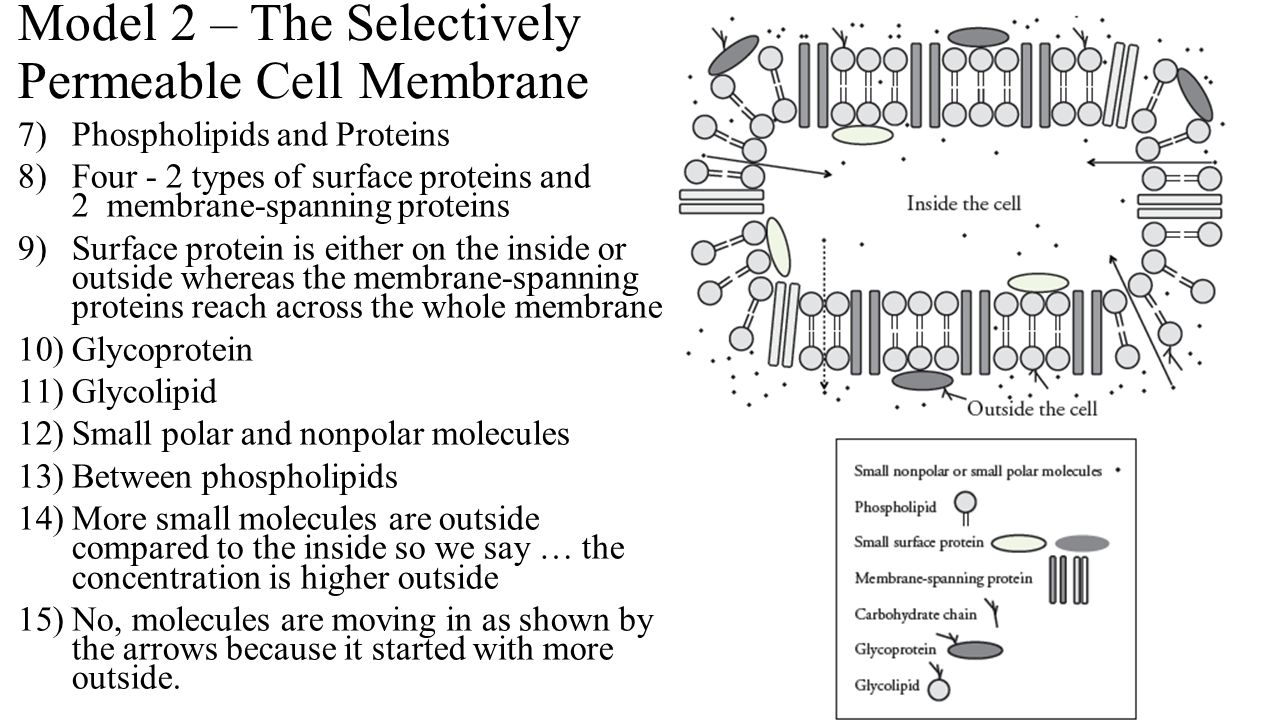 Model 2 The Selectively Permeable Cell Membrane