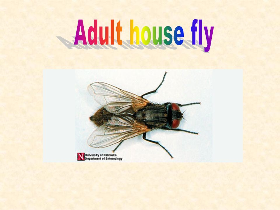 Awesome Anatomy Of A Housefly Picture Collection - Anatomy And ...