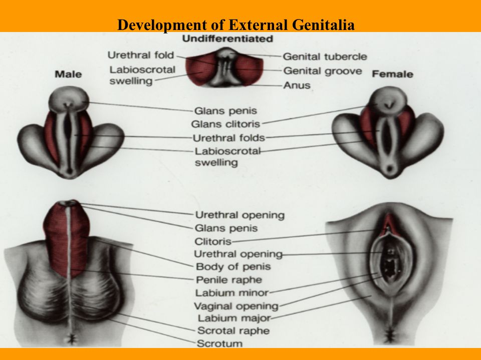 Human Sexual Differentiation Ppt Video Online Download
