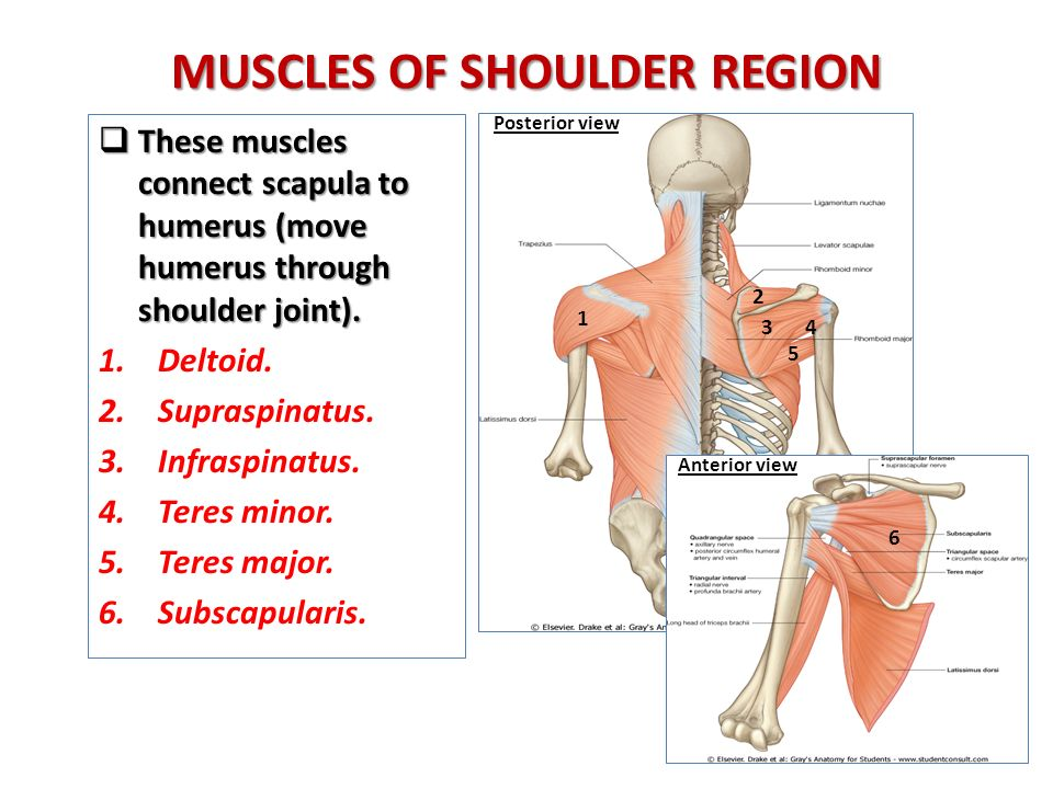 ANATOMY OF THE SHOULDER REGION - ppt video online download