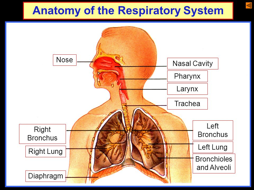The Human Respiratory System Ppt Download