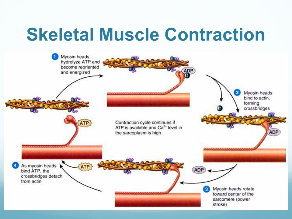 Muscle Contraction Diagram Parts - Circuit Wiring And Diagram Hub •