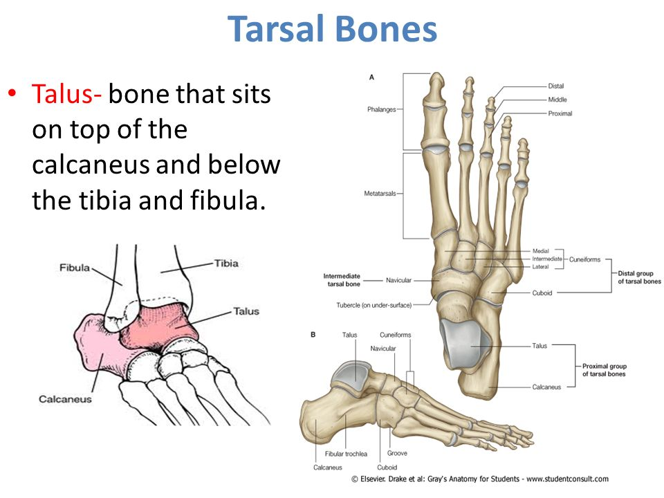 Ankle Joint Dr Rania Gabr Ppt Video Online Download