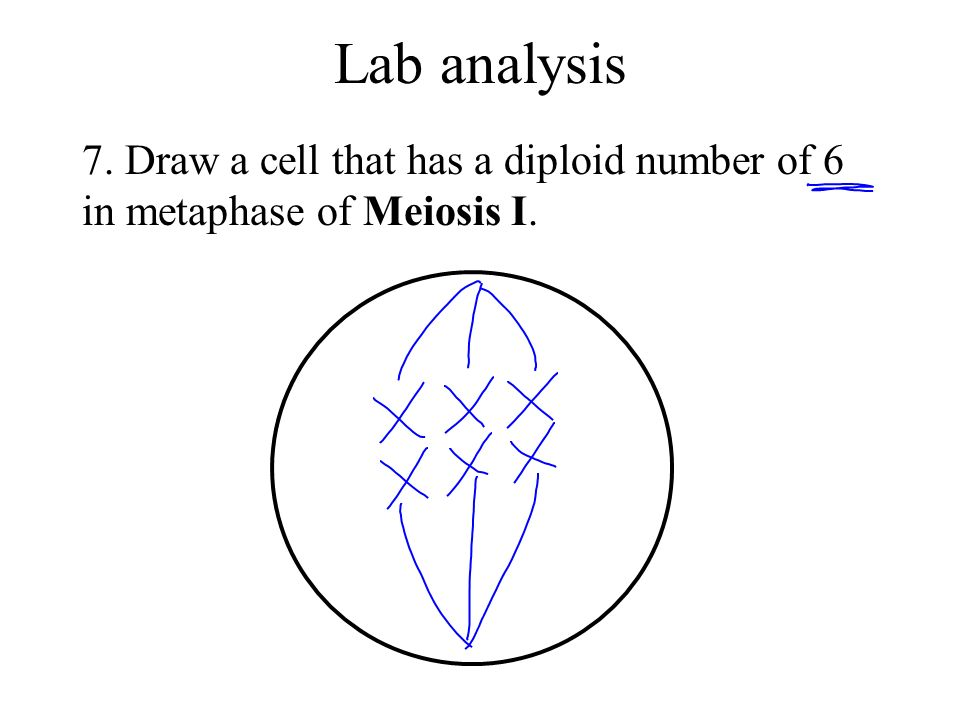 Draw A Cell That Has Diploid Number Of 6 In Metaphase Meiosis I