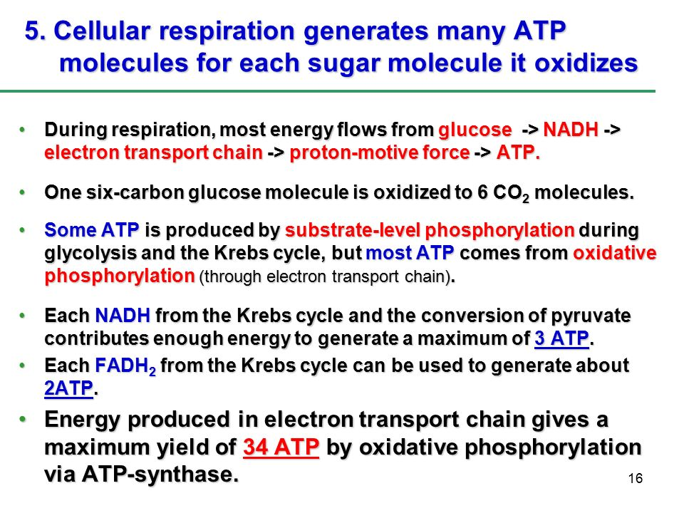 the electron transport chain produces how many atp