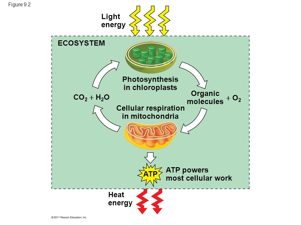 bioenergetics photosynthesis respiration So respiration and photosynthesis are the main processes dealing with bioenergetics what is chemiosmosis and how is it generated chemiomosis is a tool used to create a hammer and it is generated.