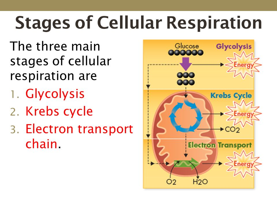 an analysis of the intricate process of cellular respiration Edvo-kit: ap06 cellular respiration see page 3 for storage instructions  cellular respiration is the breakdown of organic compounds, resulting in the release of energy the  gas released does not factor into the analysis and measurement of the amount of oxygen consumed.