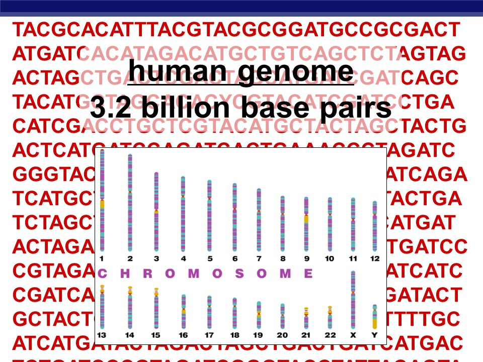 Human Genome 3 2 Billion Base Pairs