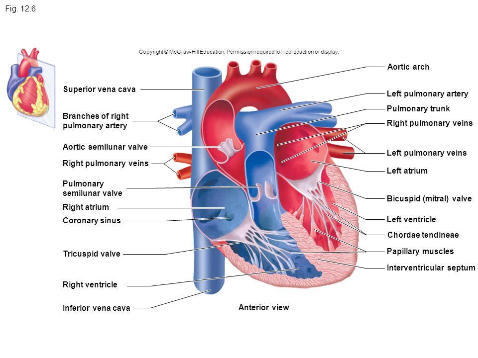 Carotid artery Jugular vein Aorta Pulmonary trunk Heart - ppt download