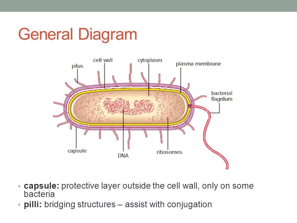 Bacteria Biology Ppt Video Online Download