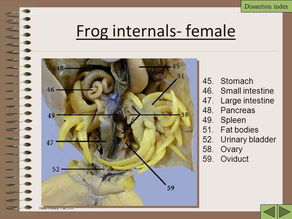 Oviducts Frog Dissection Diagram - Circuit Connection Diagram •