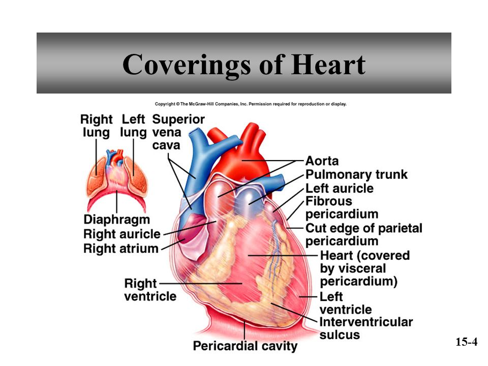 Chapter 15 Cardiovascular System - ppt download