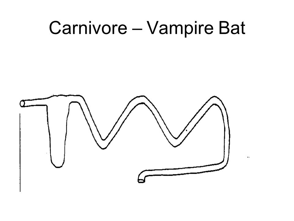 Mammals as consumers ppt video online download 79 carnivore vampire bat ccuart Images