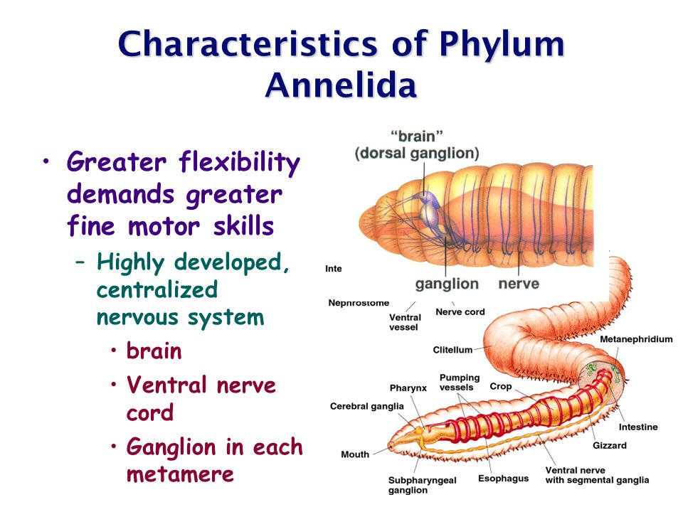 """Ppt phylum annelida annelus = """" little ring"""" the segmented worms."""