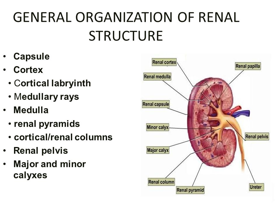 Histology Of Kidney Ppt Video Online Download