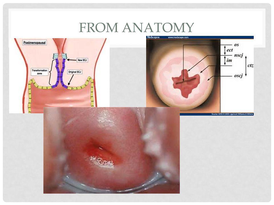 All about Cervix Karima salama. - ppt video online download