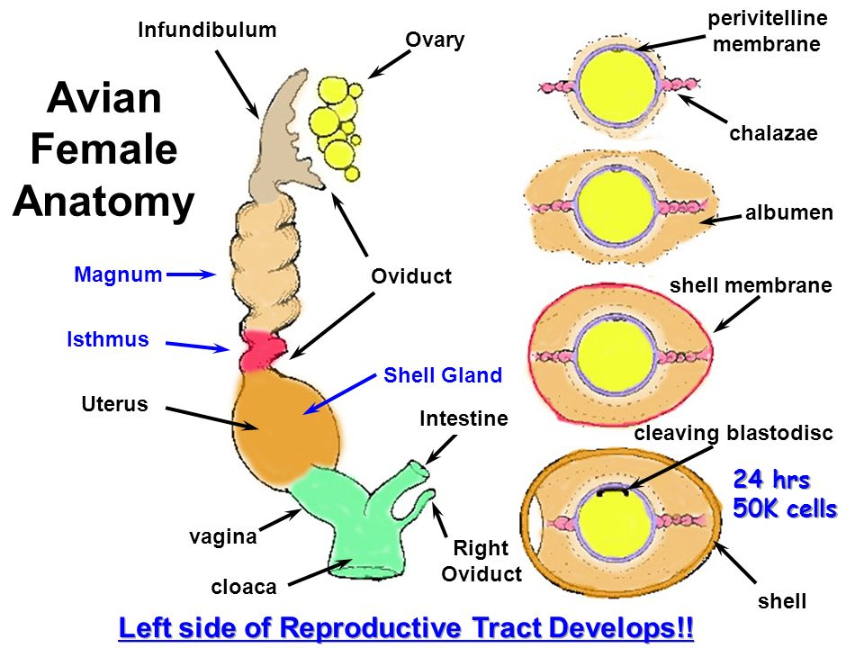 Female Comparative Anatomy History Of Reproductive Physiology Ppt