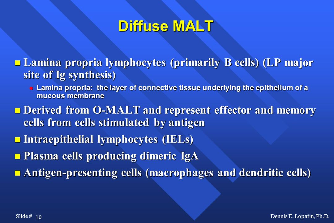 Diffuse MALT Lamina propria lymphocytes (primarily B cells) (LP major site of Ig synthesis)