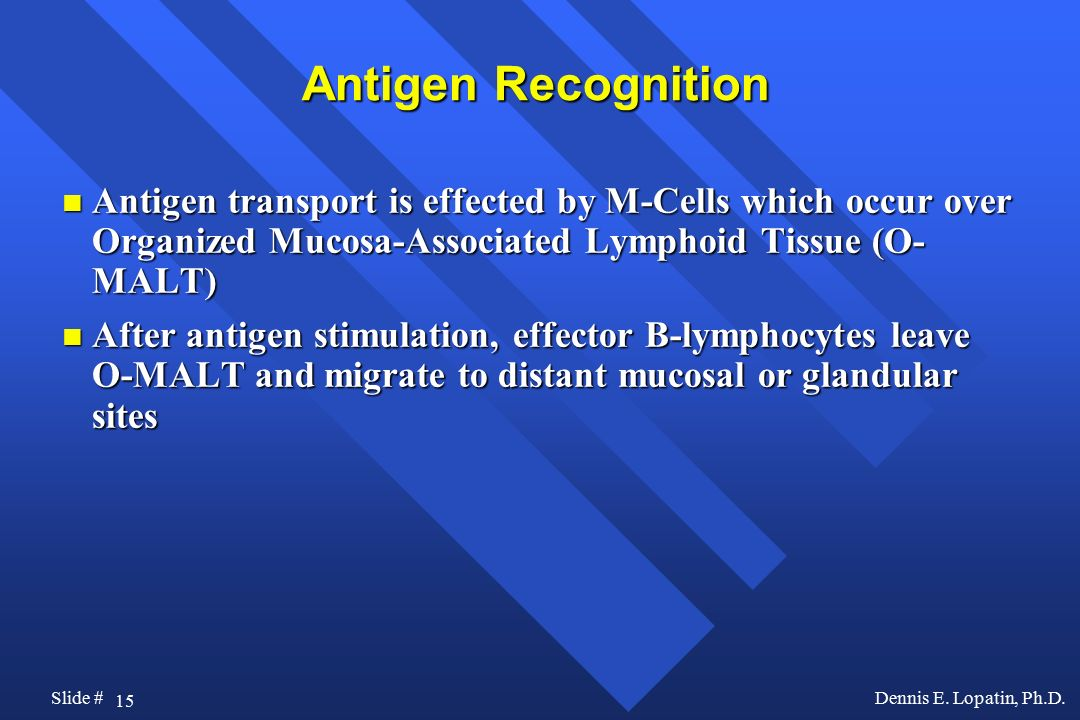 Antigen Recognition Antigen transport is effected by M-Cells which occur over Organized Mucosa-Associated Lymphoid Tissue (O-MALT)
