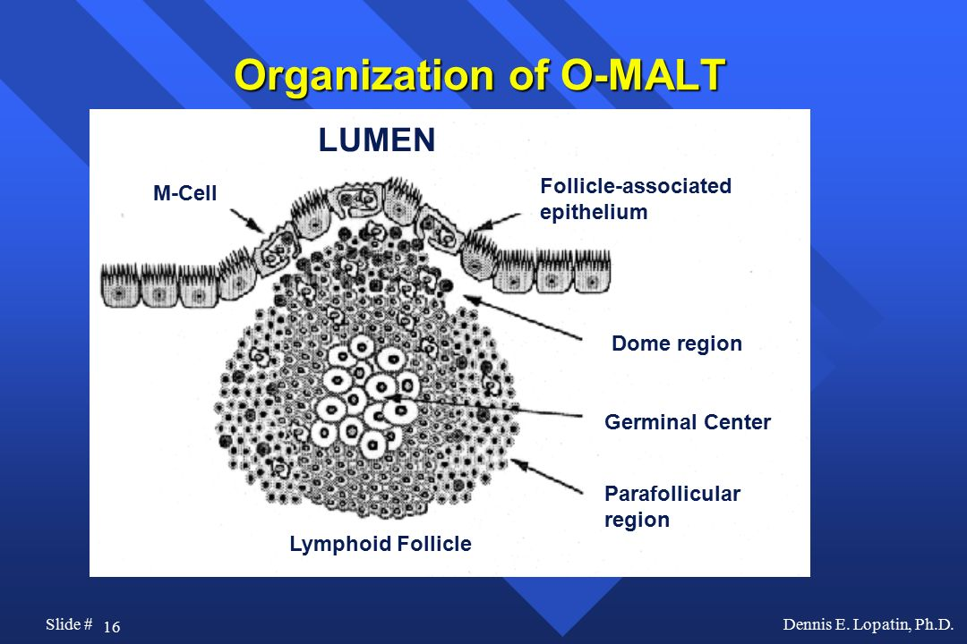 Organization of O-MALT