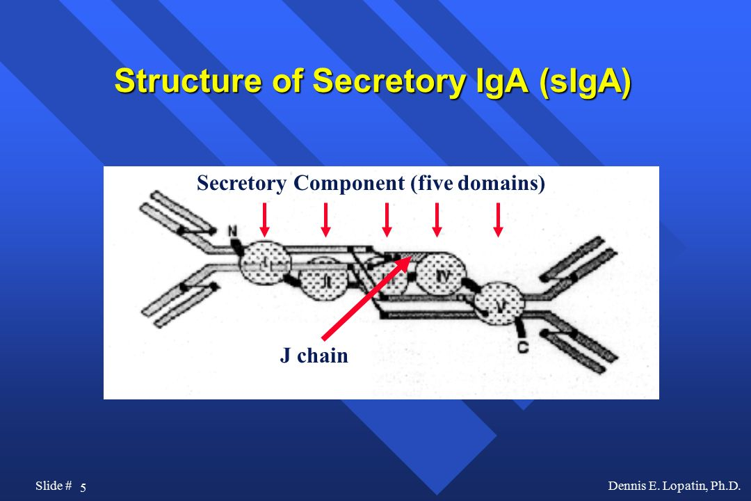 Structure of Secretory IgA (sIgA)