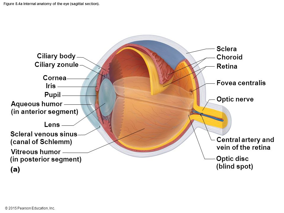 2015 pearson education inc ppt video online download figure 84a internal anatomy of the eye sagittal section ccuart Gallery