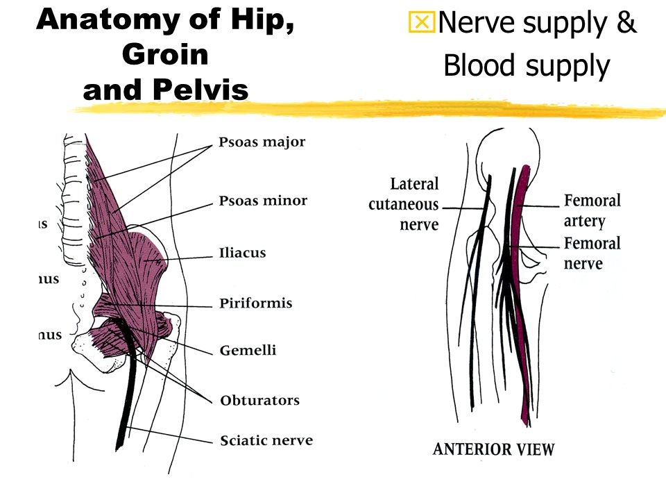 THE THIGH, HIP GROIN, and ELVIS the (Pelvis) - ppt download