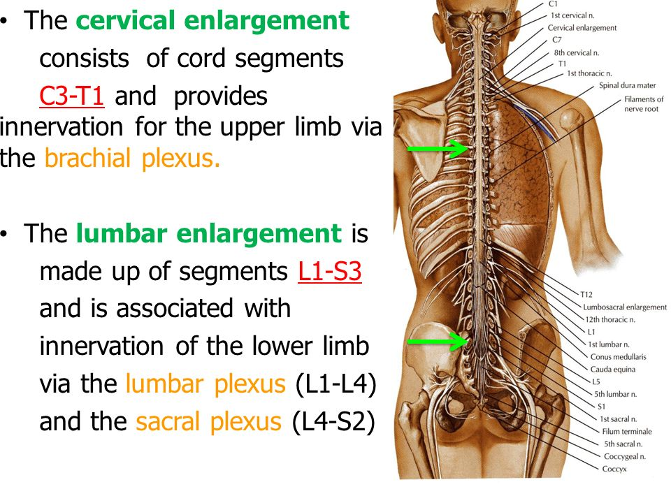 Spinal Cord External Features Ppt Video Online Download