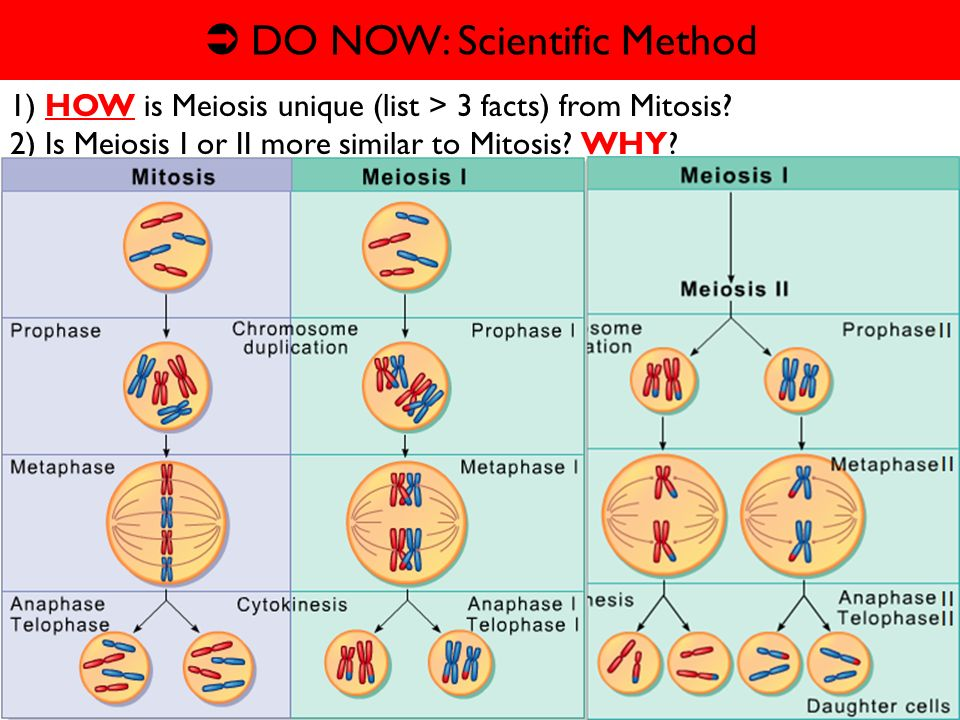 Mon 223 Wk 8 Daily Grade Mitosis V Meiosis Ppt Video Online