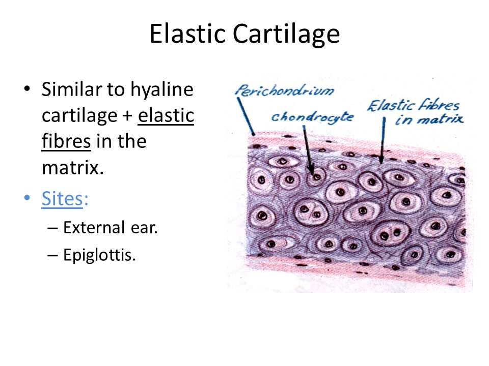 Cartilage Bone Objectives Ppt Video Online Download