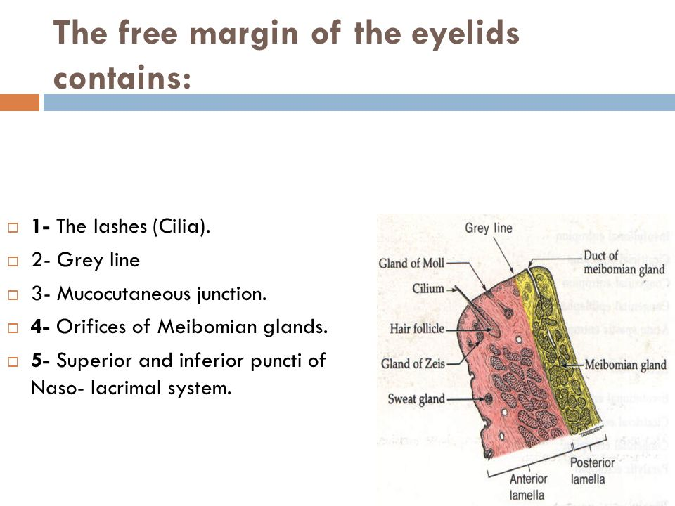Eyelids Anatomy: Eyelids are thin movable curtains composed of skin ...