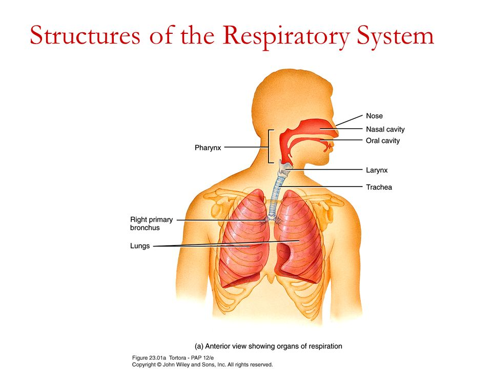 The Respiratory System I Ppt Video Online Download