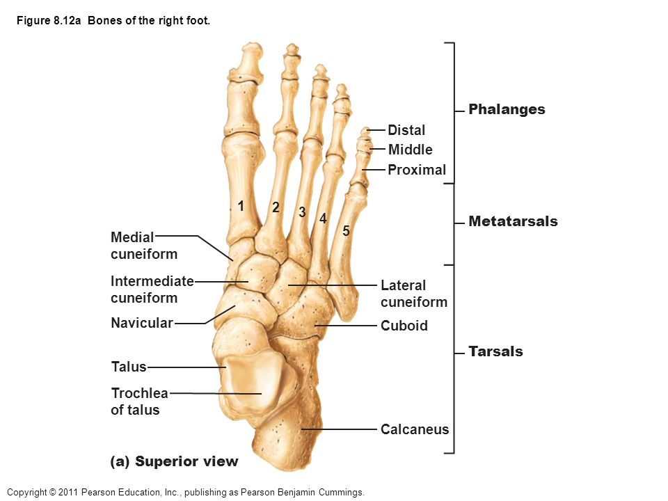 Diagram Of The Right Foot Superior View - Online Schematic Diagram •