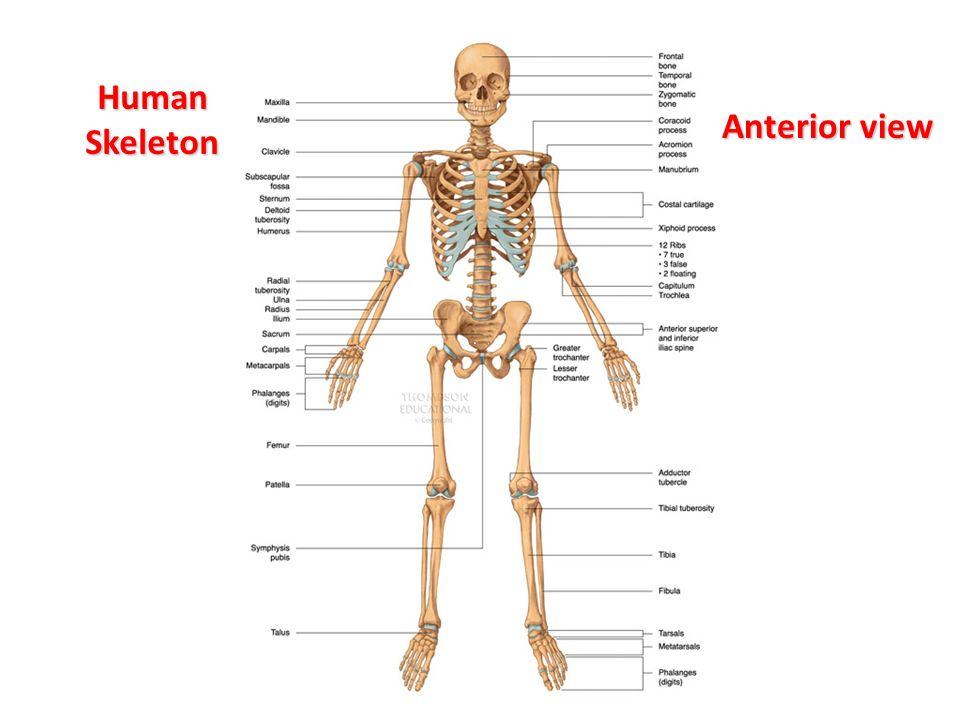 The Skeletal System Labelling The Bones Ppt Video Online Download