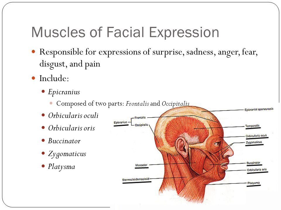 Muscles Continued Pages Ppt Download