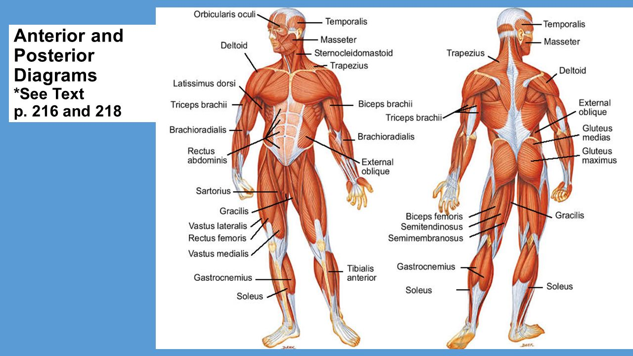 Muscular System Part Ii Ppt Video Online Download