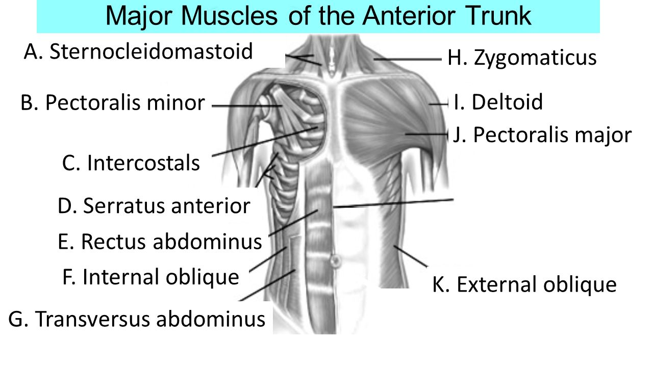 Muscular System PART II - ppt video online download
