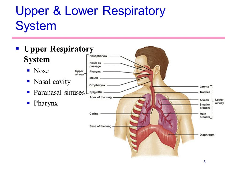 Diagram Of The Upper And Lower Airways - Online Schematic Diagram •