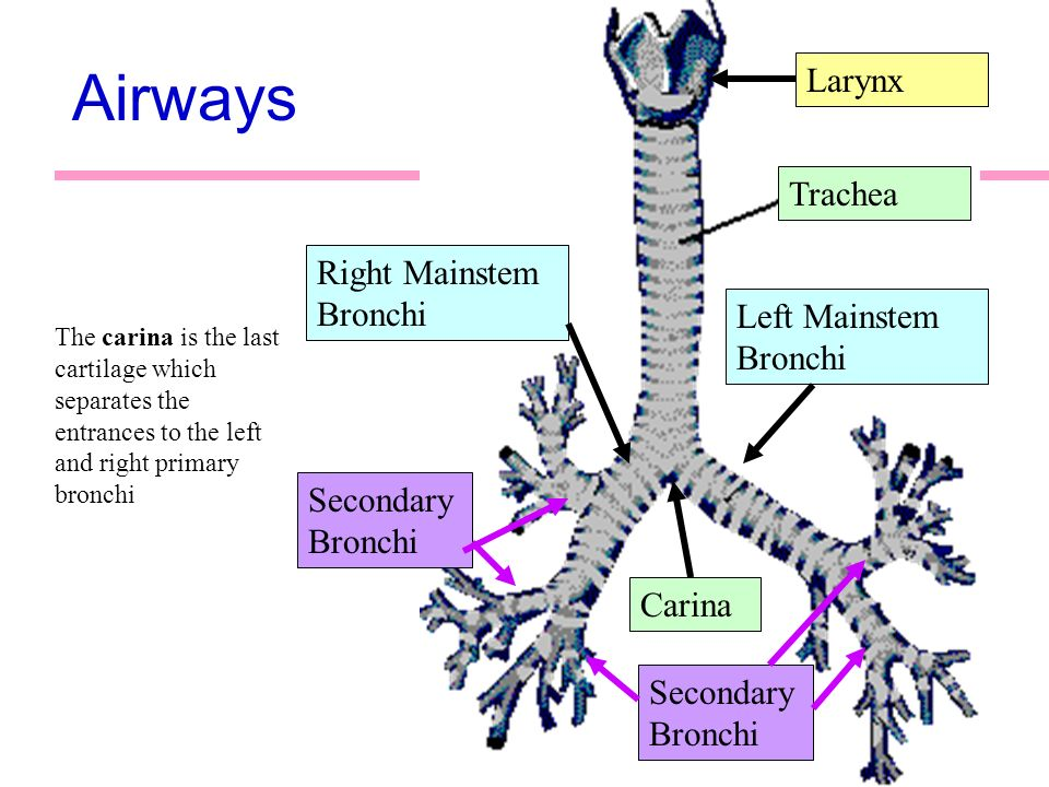 Old Fashioned Primary Bronchi Image - Anatomy And Physiology Biology ...